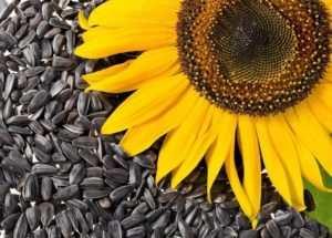Можно ли есть семечки при гастрите: жареные, тыквенные, подсолнуха